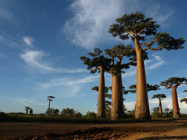 Avenue of the Baobabs near Morondava, Madagascar