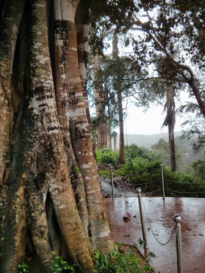 Koli tree