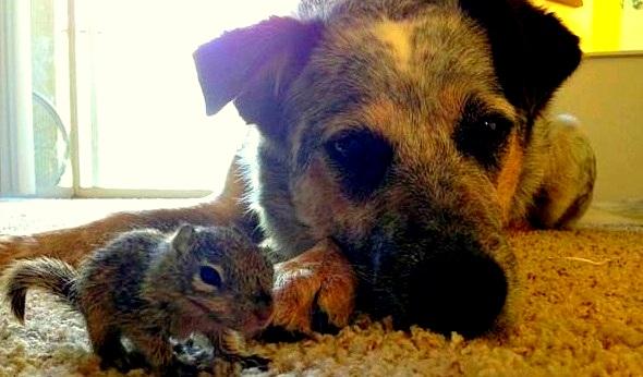 Dog adopts baby squirrel1