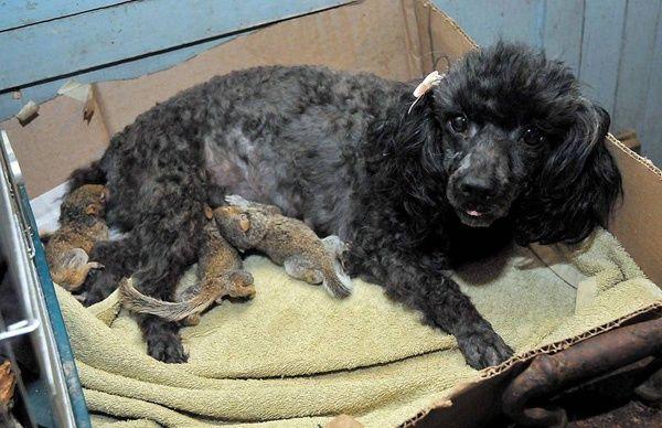 Dog adopts baby squirrel2