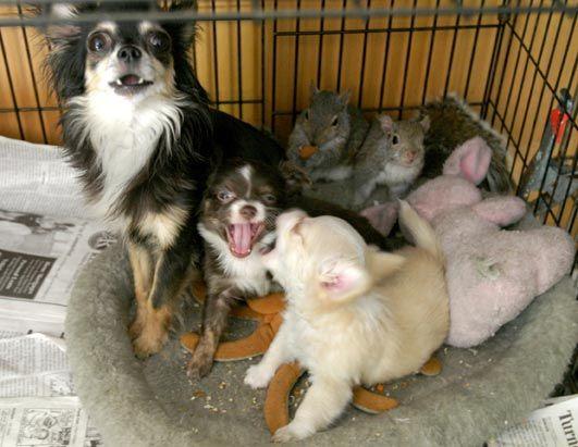 Dog adopts baby squirrel3