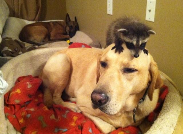 Dog adopts baby squirrel6